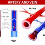 arteries-and-veins